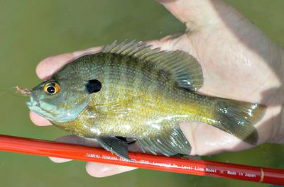 The Tenryu Furaibo TF39 works great for panfish