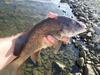 Freshwater Drum from this summer
