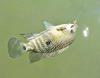 A Nice Rio Grande Perch, or Texas Cichlid, in the Blanco River