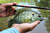 This beautiful Redear Sunfish couldn't resist a Killer Bug bounced along the bottom.