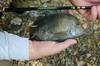A Slab-Sided Rio Grande Perch Taken on a Shimotsuke Kiyotaki 18
