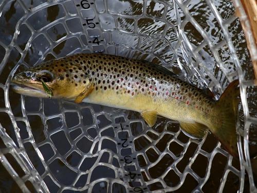 Brown trout in ne