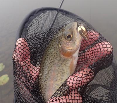 Trout in net