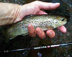 Brown trout caught on All Fishing Buy Wakata