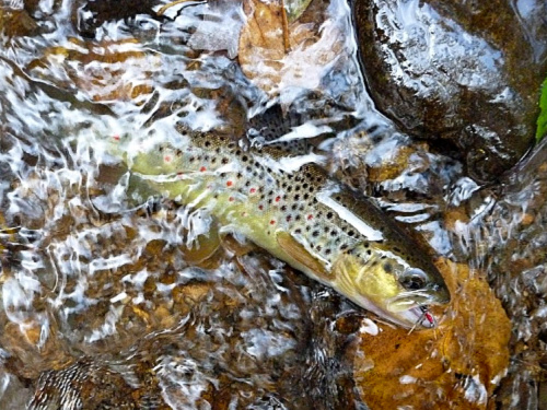 Keep 'em wet brown trout