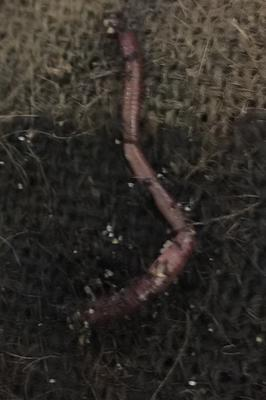 Red Wiggler Worm