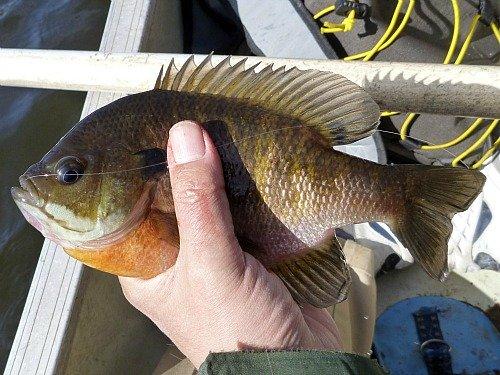 Hand-sized bluegill caught with a tenkara rod.