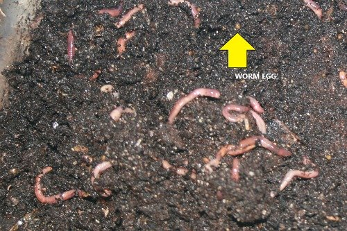 Worm bin with some worms on bedding. Arrow points to a cocoon