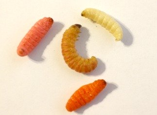 Live Butterworm Surrounded by Three Mummy Worms