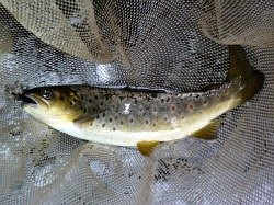 Trout in net with Big Kebari in its mouth