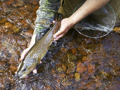 18 inch brown trout caught in small mountain stream