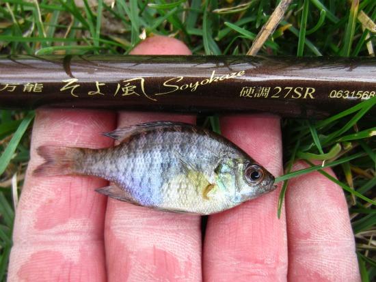 bluegill sunfish - Alan D