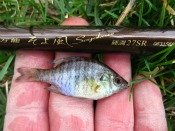 bluegill sunfish - Alan D.