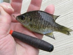 Bluegill caught with Daiwa Hinata