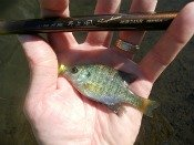 bluegill sunfish - kayak_chris.