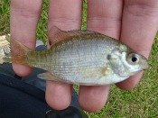 bluegill sunfish - loften