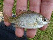 bluegill sunfish - loften