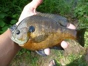 bluegill sunfish- thelifeamphibious