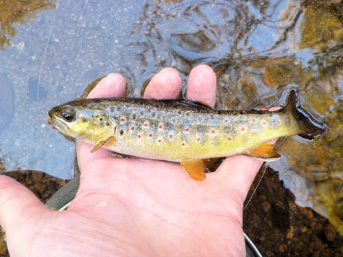 Small brown trout held at water's surface.