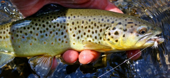 brown trout anthony