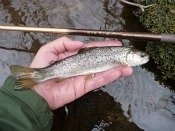 brown trout - TanagoBum