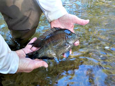 Robin Pulled this Cichlid out of Cibolo Creek