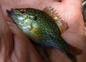 dollar sunfish - atenkley
