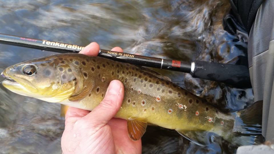 Angler holding brown trout and TenkaraBum 36