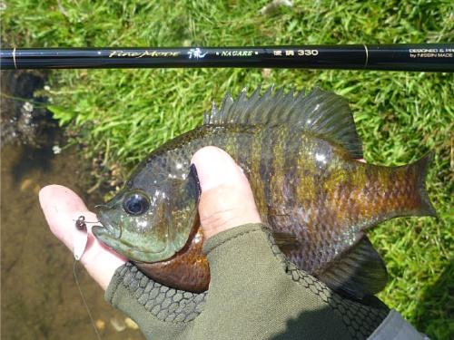 Bluegill caught with microspoon and seiryu rod.