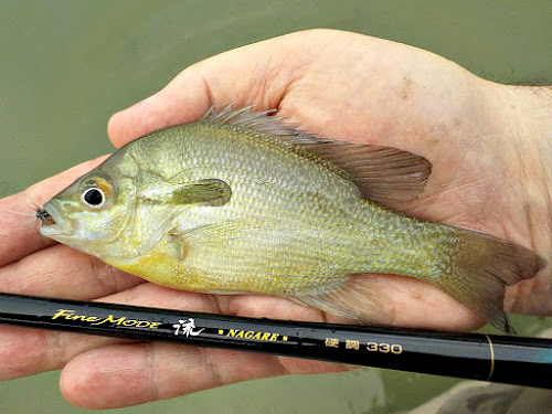 Redbreast sunfish with Nissin Fine Mode Nagare 330