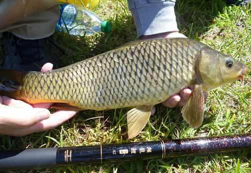 Carp with Nissin Flying Dragon