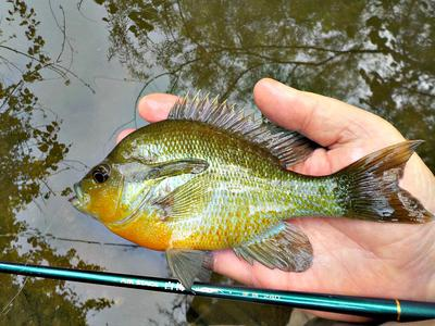 Beautiful sunfish caught on a Utah Killer Bug