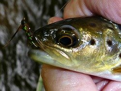 Angler holding small brown trout with green fly in its mouth