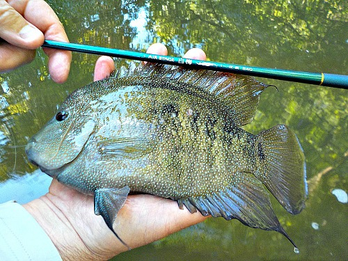 Hand-sized cichlid caught with Air Stage Hakubai.