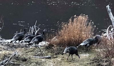Wild Turkeys on the South Fork