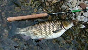Large European chub caught with horsehair line.