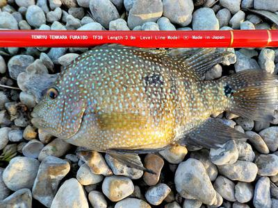 Texas Cichlids (Rio Grande Perch) head for the bottom like they've swallowed an anvil.
