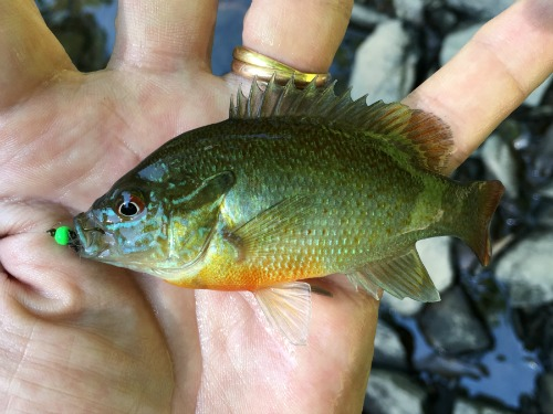 Angler holding redbreast sunfish caught with a fly that has a green bead head.