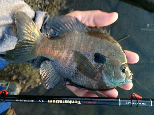 Angler holding large bluegill and TenkaraBum 36