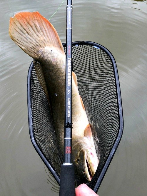 Bowfin in the net, with TenkaraBum 36