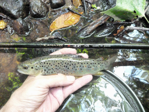 Angler holding small brown trout alongside rod.