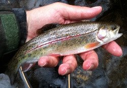 Angler holding rainbow trout