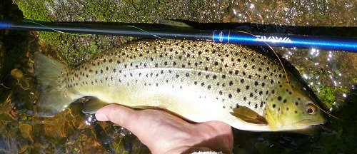 Daiwa Kiyose SF and nice brown trout