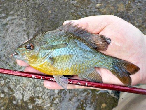 Red Breast Sunfish caught with Suntech Kurenai
