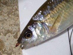 Common Shiner caught on size 26 Utah Killer Bug.