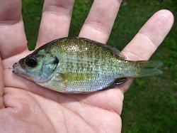 Angler holding very small bluegill