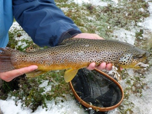 Angler holding large brown trout