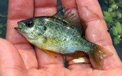 pumpkinseed-sunfish-atenkley