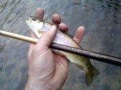 rainbow trout heath