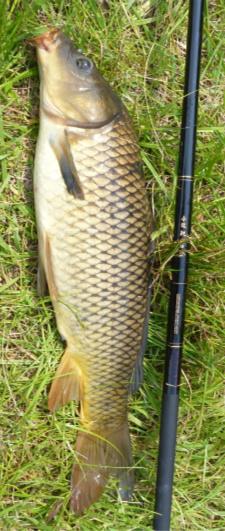 Carp on grass alongside Nissin carp rod